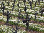 Early Spring Vineyard - Mendocino County
