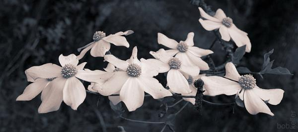 May Flora - Pacific Dogwood