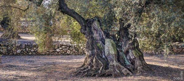 Oliovo Milenario 17 - Ancient Spanish Olive